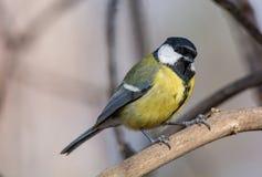 在黄色黑颜色开会的逗人喜爱的伟大的山雀帕鲁斯少校鸟 免版税图库摄影