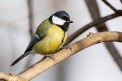 在黄色黑颜色开会的逗人喜爱的伟大的山雀帕鲁斯少校鸟 免版税库存照片