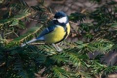 在黄色黑颜色开会的逗人喜爱的伟大的山雀帕鲁斯少校鸟 图库摄影