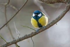 在黄色黑颜色开会的逗人喜爱的伟大的山雀帕鲁斯少校鸟 免版税库存图片