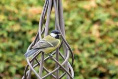 在黄色黑颜色的伟大的山雀鸟栖息在金属庭院的或 库存照片