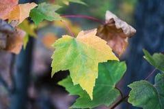 在黄色,绿色和橙色垂悬呈杂色的枫叶从麸皮 库存图片