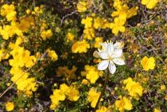 在黄色Hibertia的白色乳草开花在bokeh-澳大利亚野花纹理背景中开花背景 图库摄影