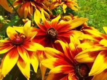 在黄金菊花照片的土蜂 图库摄影