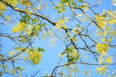 在黄金雨树下 免版税库存图片
