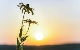 在黎明光芒的美好的花黄金菊  免版税库存图片
