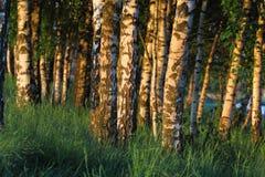 在黎明的桦树 图库摄影