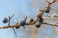 在黑刺李枝杈的黑刺李莓果,蓝天 库存照片