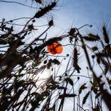 在黑剪影之间的仅一朵红色花 库存图片
