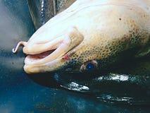 在黑塑料筐的新近地被抓的鳕鱼有其他的捉住 图库摄影