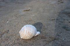在黑暗含沙的美好的白色壳在热带海滩有拷贝空间背景 免版税库存照片