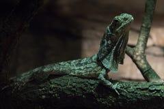 在黑暗的一只好奇固定边饰蜥蜴 免版税库存照片