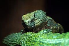 在黑暗的多刺的尾巴蜥蜴 库存照片