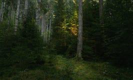 在黑暗的杉树森林日落光的足迹在一棵树发光 库存照片