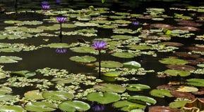 在黑暗的水的蓝色荷花 免版税图库摄影