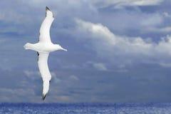 在黑暗的海洋的信天翁飞行 免版税库存图片