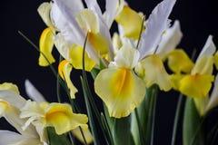 在黑暗的白色黄色虹膜花 免版税库存图片