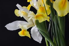 在黑暗的白色黄色虹膜花 库存照片