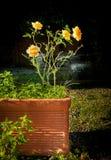 在黑暗的背景前面的一朵黄色玫瑰 库存图片