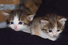在黑暗的背景的两只混杂的颜色小猫 免版税图库摄影