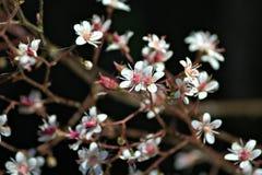 在黑暗的背景的小的白花 免版税库存图片