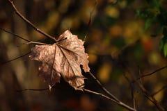 在黑暗的背景的干燥枫叶 库存图片