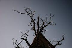 在黑暗的背景的死的树,没有叶子的树在黑暗的背景 免版税库存图片
