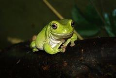 在黑暗的背景的澳大利亚绿色雨蛙特写镜头 免版税库存照片