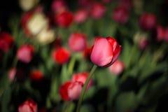 在黑暗的背景的红色郁金香 ?? 在花背景的精美桃红色郁金香  r 免版税库存照片