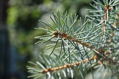 在黑暗的背景的绿色云杉的分支 免版税图库摄影