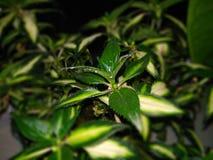 在黑暗的背景的绿色家庭花 库存照片