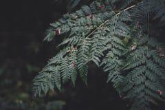 在黑暗的背景的绿色蕨叶子 在森林热带绿色植被的蕨 免版税库存照片