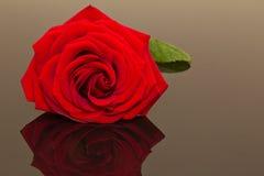 在黑暗的背景的美丽的唯一红色玫瑰 库存照片