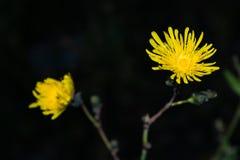 在黑暗的背景的美丽的黄色森林花特写镜头 免版税库存图片