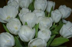 在黑暗的背景的郁金香花 免版税库存图片