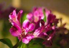 在黑暗的背景的黑暗的紫罗兰色花 库存图片