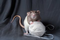 在黑暗的背景的鼠特写镜头 库存照片