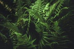 在黑暗的蕨叶子 图库摄影