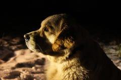 在黑暗的金毛猎犬头 免版税图库摄影