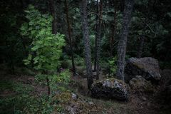 在黑暗的风雨如磐的木头的绿色树在卡累利阿,俄罗斯 库存照片