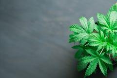 在黑木背景的年轻美丽的大麻植物医疗大麻与拷贝空间关闭地方  免版税库存图片