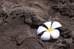 在黑沙子的Franjipani花 免版税库存照片
