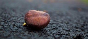 在黑沥青的一枚棕色栗子坚果在秋天早晨 库存照片