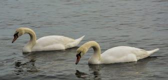 在黑海海岸的两三只白色天鹅 库存图片