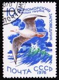 在黑海状态储备的苗条开帐单的鸥Chroicocephalus genei,大约1976年 免版税库存照片