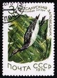 在黑海状态储备的苗条开帐单的鸥Chroicocephalus genei,大约1976年 库存图片