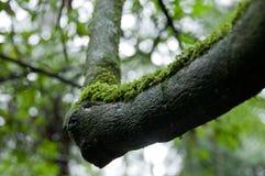 在黑潮湿树干的生苔地衣在森林里 库存图片