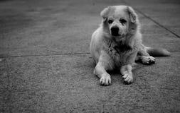 在黑白口气的老流浪狗 库存图片