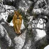 在黑白场面的橙色狮子 图库摄影