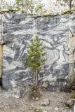 在黑白大理石墙壁前面的小的绿色杉木在老 免版税库存照片